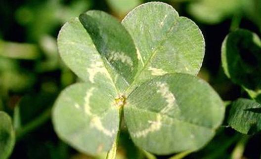 four-leaf-clover.jpg