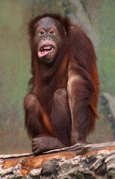 اضحك تضحكلك الدنيا....صور لبعض الضاحكين.!!! laughing-orangutang.