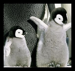 cute-baby-penguins.jpg