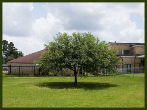 The oak tree at Jena's high school -- now cut down