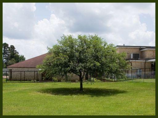 The oak tree at Jena's high school -- now cut down