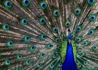 istock-peacock.jpg