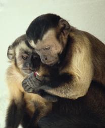 capuchin-monkeys-de-waal.jpg