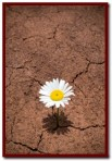 Desert Daisy